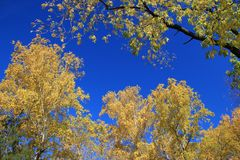 Autumn. Gold birch and maple tops against blue sky Stock Image