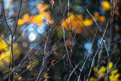 Autumn gold colored leaves with blur background and tree branches. With sun rays in background royalty free stock photography