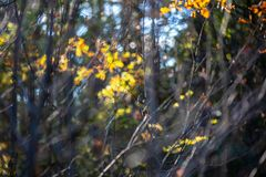 Autumn gold colored leaves with blur background and tree branches. With sun rays in background royalty free stock images