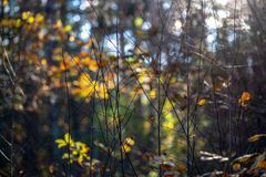Autumn gold colored leaves with blur background and tree branches. With sun rays in background royalty free stock image