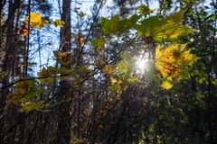 Autumn gold colored leaves with blur background and tree branches. With sun rays in background stock image