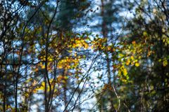 Autumn gold colored leaves with blur background and tree branches. With sun rays in background royalty free stock photos