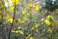 Autumn gold colored leaves in bright sunlight Royalty Free Stock Photo