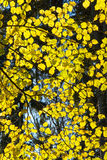 Autumn gold colored leaves in bright sunlight Stock Images