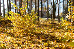 Autumn gold colored leaves in bright sunlight Royalty Free Stock Photography