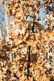 Autumn gold colored leaves in bright sunlight Royalty Free Stock Image