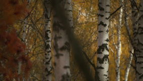 Autumn gold colored leaves. In bright sunlight in forest stock video footage