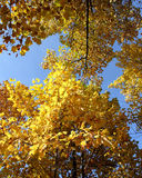 Autumn gold crowns. Look in the sky. Royalty Free Stock Photos