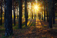 Autumn gold forest in sumlight  Stock Image