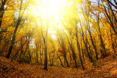 Autumn gold forest in sunlight fall foliage Stock Images