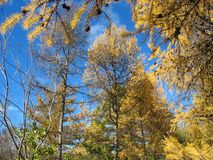 Autumn. Gold larch tops against blue sky Stock Photos