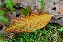 Autumn gold leaf. Golden yellow brown autumn leaf Stock Photo