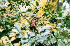 Autumn Gold Leaf On Holly sidor arkivbild