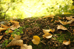 Autumn Gold Leaves. On Old Overgrown Stone Royalty Free Stock Image