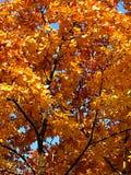 Autumn gold maple. Autumn gold foliage of maple by a sun day Stock Photos