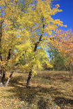 Autumn. Gold maples Royalty Free Stock Photography