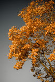 Autumn gold tree on gray background Royalty Free Stock Photos