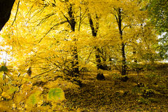 Autumn Gold Trees en un parque Fotos de archivo libres de regalías