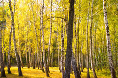 Autumn gold wood Stock Photos