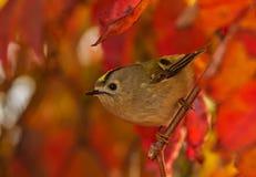 Autumn Goldcrest Imagem de Stock