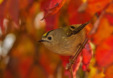 Autumn Goldcrest Stock Image