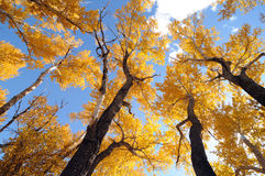 Autumn -- Golden Ash and Blue Sky Stock Photography