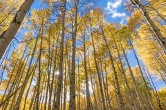 Autumn Golden Aspen Sunburst fotografía de archivo libre de regalías