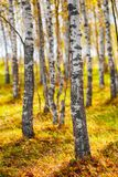 Autumn golden birch tree yellow forest background. Stock Images