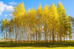 Free Autumn Golden Birch Tree Yellow Forest Background. Royalty Free Stock Photography - 99496337