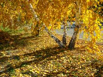 Autumn. Golden birches royalty free stock photo