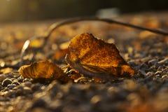 Autumn Golden Brown Leaves no fim do por do sol acima foto de stock royalty free