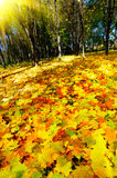 Autumn in the golden forest. Stock Photo