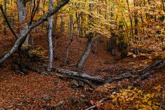 Autumn golden forest Royalty Free Stock Photography