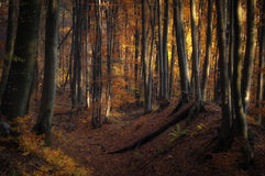 Autumn in a golden forest with su,light Stock Image