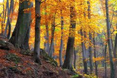 Autumn golden forest trees Stock Images