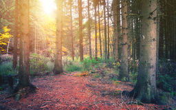 Autumn golden forest trees Stock Photography
