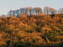 Autumn golden forest trees covering a steep hill with tall beech Stock Photo