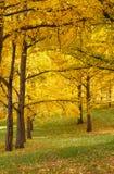 Autumn Golden Ginkgo Trees Virginia fotografia de stock royalty free
