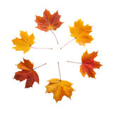 Autumn. golden leaves maple isolated. Royalty Free Stock Photography