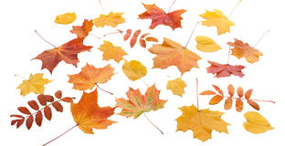 Autumn. golden leaves maple isolated. Royalty Free Stock Image