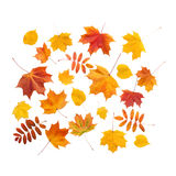 Autumn. golden leaves maple isolated Stock Photography