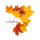 Autumn. golden leaves maple isolated Royalty Free Stock Image
