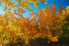 The autumn golden leaves Stock Photography