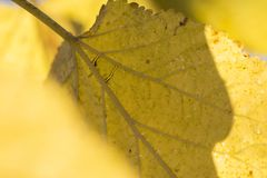 Autumn golden leaves texture with vein and nervures macro shot p. Autumn golden leaves texture with vein and nervures, macro shot photography Royalty Free Stock Photos