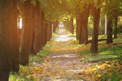Autumn golden linden alley in town falling leaves Stock Image