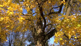 Autumn golden maple  and camera rotate stock video