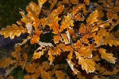 Autumn golden oak twig Royalty Free Stock Images
