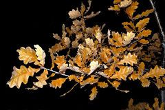 Autumn golden oak twig Royalty Free Stock Photo