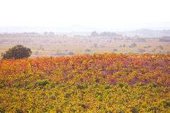 Autumn golden red vineyards sunset in Utiel Requena Royalty Free Stock Image