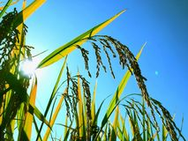 Autumn Golden Rice with Blue Sky royalty free stock image